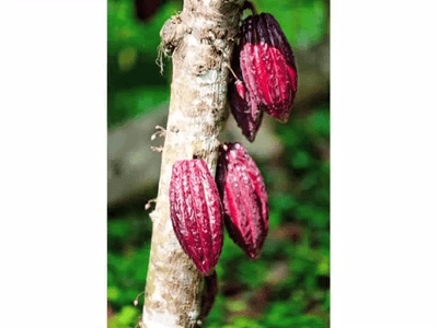 raw-cacao-ted-lecture-david-wolfe08