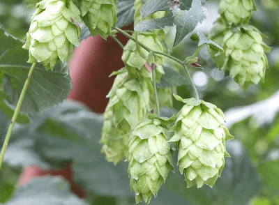 hop-of-beer-has-alzheimers-disease-prevention-effect